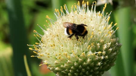 sedum : Macro of a bumblebee on the flower of Welsh onion Stock Footage