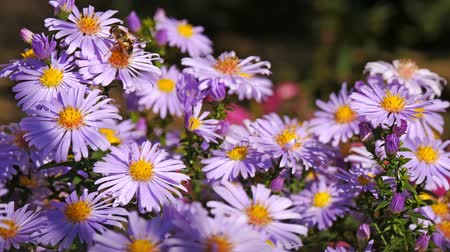 polinização : Purple aster flowers blooming pollinated by bees Stock Footage
