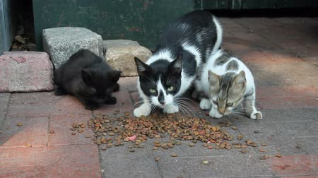 Alley street cats eating cat food Stock Footage