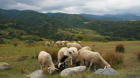 gramíneo : Sheep grazing in grassy mountains. Natural organic nutrition