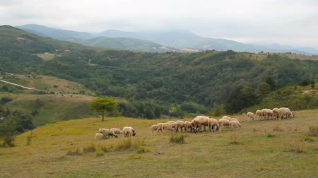 herder : Sheep grazing in grassy mountains. Natural organic nutrition