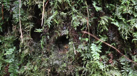 vida selvagem : White-browed Shortwing female bird in nest