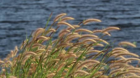 pântano : Grass flowers in the wind