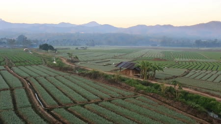 shallot : Shallots field with mountain background,Chiangmai  Thailand