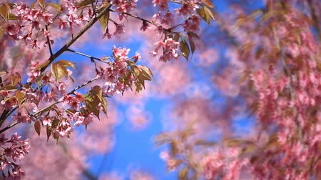 bloesemboom : Cherry blossom, sakura bloemen Stockvideo