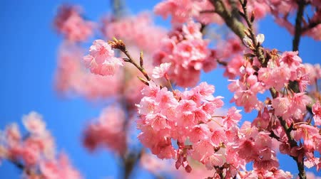 cereja : Cherry blossom, sakura flowers