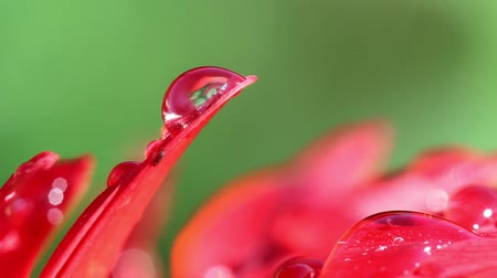 香り : Close up shot of a dew drops on a red petals