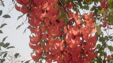 kertészeti : New Guinea Creeper or Red Jade Vine in tropical backyard