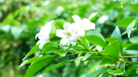 philadelphus blossoms : Close up on Orange Jessamine flowers in nature Stock Footage