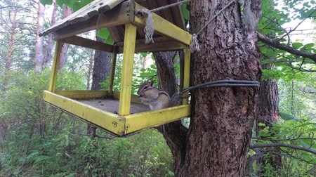 wiewiórka : The Chipmunk got into the bird house. Chipmunk eats food
