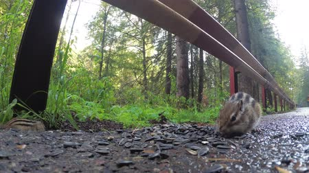 chipmunk : Chipmunk eating food sitting on the road in the Park Stock Footage