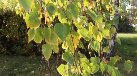 sways : yellowed birch leaves swaying in the wind, autumn Sunny day