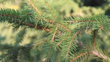сосновая шишка : The branches of the blue spruce close-up. Blue spruce or prickly spruce (Picea pungens)