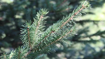 pichlavý : The branches of the blue spruce close-up. Blue spruce or prickly spruce (Picea pungens)