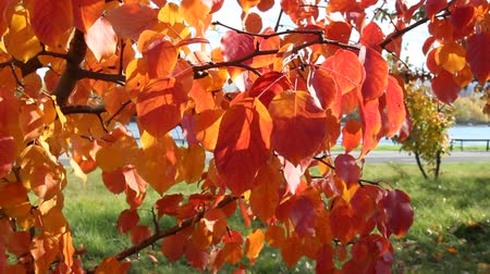 warm autumn : red autumn leaves swaying in the wind, beautiful Sunny day, bright colors of autumn Stock Footage
