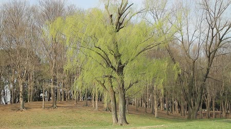 Weeping Willow and Sprouting  Bird