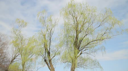 chill out : Weeping Willow  Sky