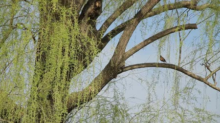Weeping Willow and Wild Bird