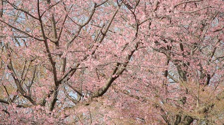chill out : Cherry Blossom Trees (Prunus kanzakura Oh-kanzakura), Wild Bird Stock Footage