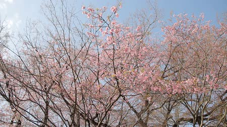 chill out : Cherry Blossom Trees (Prunus kanzakura Oh-kanzakura) Stock Footage