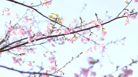 cereja : Cherry Blossom in the park Stock Footage