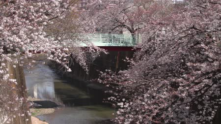cereja : Cherry Blossom long shot behind bridge at Shakujii river