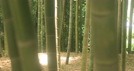 bitki : Bamboo at Chikurin park close shot