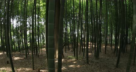 bamboo forest : Bamboo forest at Chikurin park wide shot