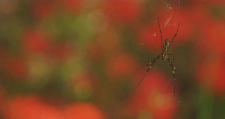 pozisyon : Spider behind Cluster amaryllis in Kinchakuda Stok Video
