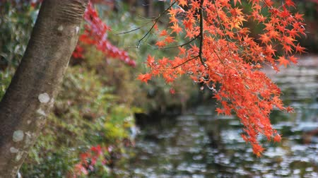 arce japones : Red leaves at the forest in Gifu Japan autumn