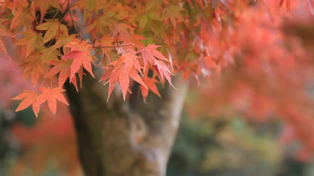 gałąź : Red leaves at the forest in Gifu Japan autumn