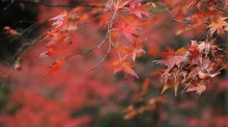 red maple : Red leaves at the forest in Gifu Japan autumn