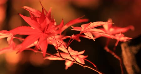 handheld shot : Illuminated red leaves at the traditional park at Eikandou in Kyoto Japan autumn