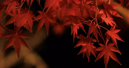 arce japones : Illuminated red leaves at the traditional park at Eikandou in Kyoto Japan autumn
