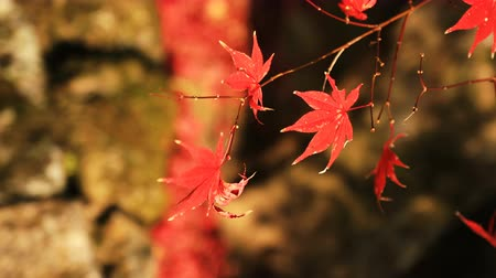 kyoto : Red leaves at the traditional park at Enkouji temple in Sakyo district Kyoto