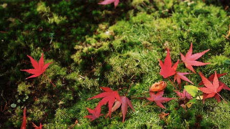 handheld shot : Red leaves at the traditional park at Enkouji temple in Sakyo district Kyoto