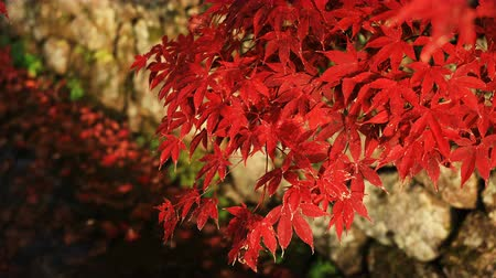 arce japones : Red leaves at the traditional park at Enkouji temple in Sakyo district Kyoto