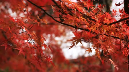 arce japones : Red leaves in autumn at Bishamondou at Yamashina district in Kyoto close shot Archivo de Video