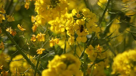 rape : Bee and Canola flower in the field at Azumayama park in Shounan Kanagawa