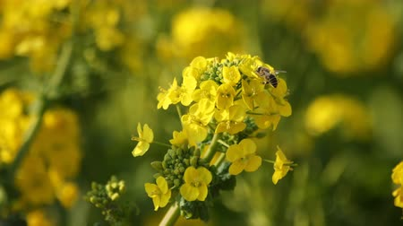 kolza tohumu : Bee and Canola flower in the field at Azumayama park in Shounan Kanagawa