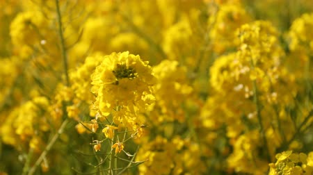 florescente : Canola flower garden at Azumayama park in Shounan Kanagawa close up handheld