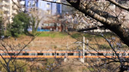 tokyo station : Cherry blossom behind the train at the park in Tokyo