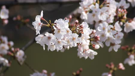 nisan : Cherry blossom with bee at the park in Tokyo