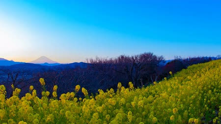 czas : Sunset time lapse Canola flower garden at Azumayama park in Shounan Kanagawa wide shot Wideo