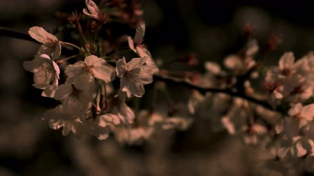 kwiecień : Cherry blossom at the park in Tokyo at night closeup