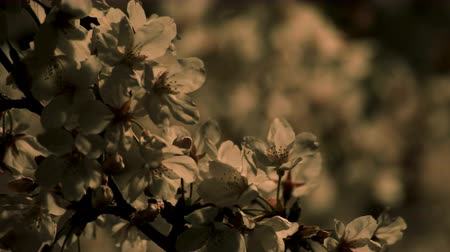 сады : Cherry blossom at the park in Tokyo at night closeup