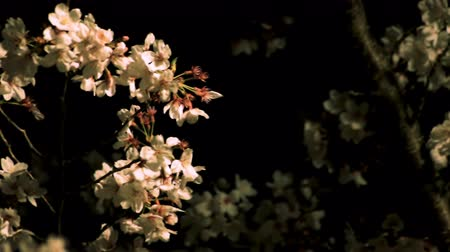 blooms : Cherry blossom at the park in Tokyo at night medium shot