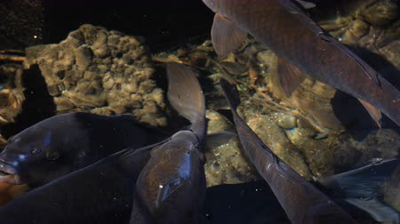 geliştirmek : Swimming carp in the pond closeup Stok Video