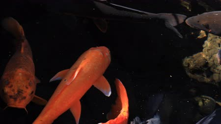goldfish : Swimming carp in the pond closeup Stock Footage