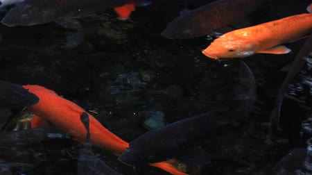 desenvolver : Swimming carp in the pond